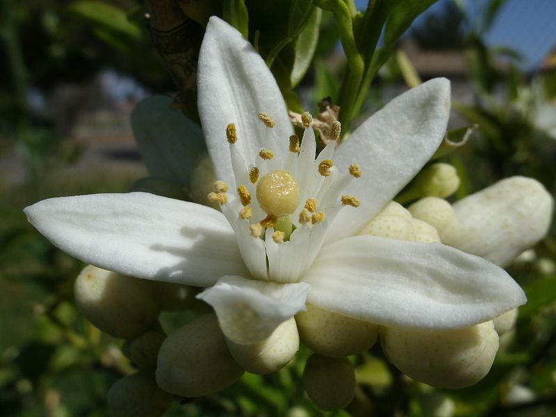 néroli, orange blossom