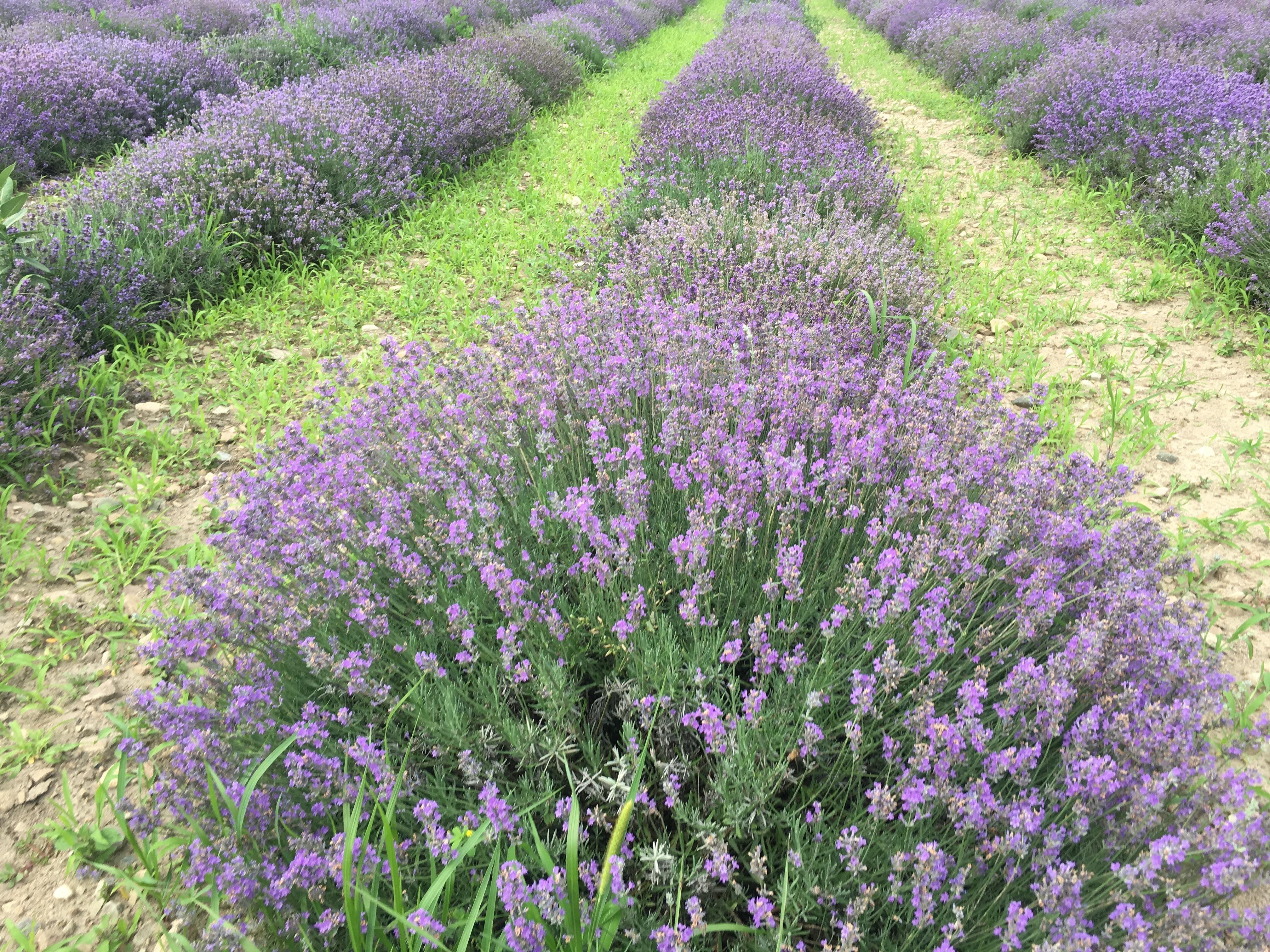 lavande vraie, lavender vera
