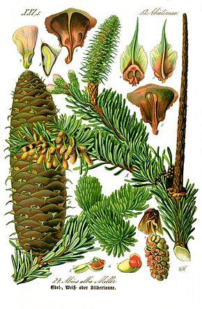 Sapin blanc, silver fir