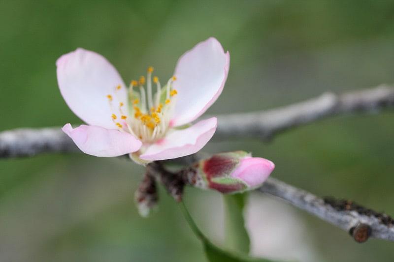 Amande douce, sweet almond