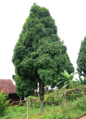 bois de Siam, Siam wood