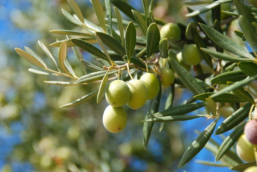 Olive vierge