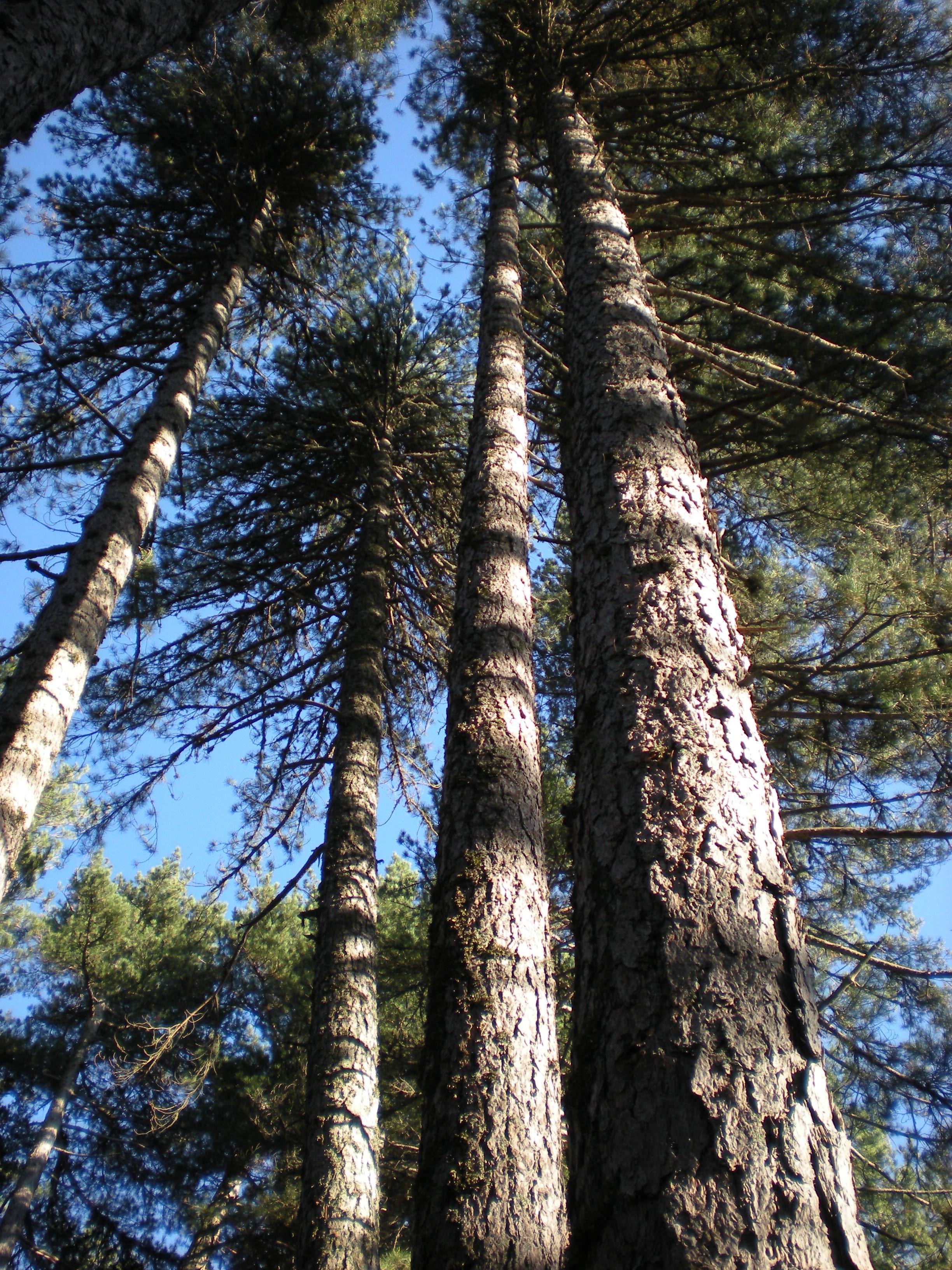 pin laricio, laricio pine