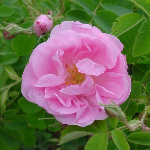 rose de Damas, Damask rose