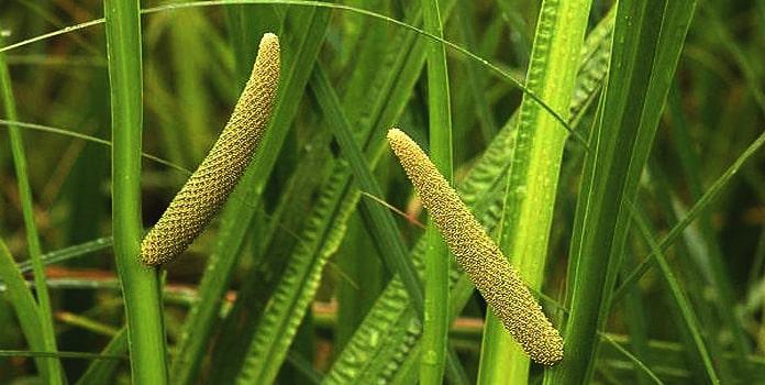 Acore roseau bio, organic calamus