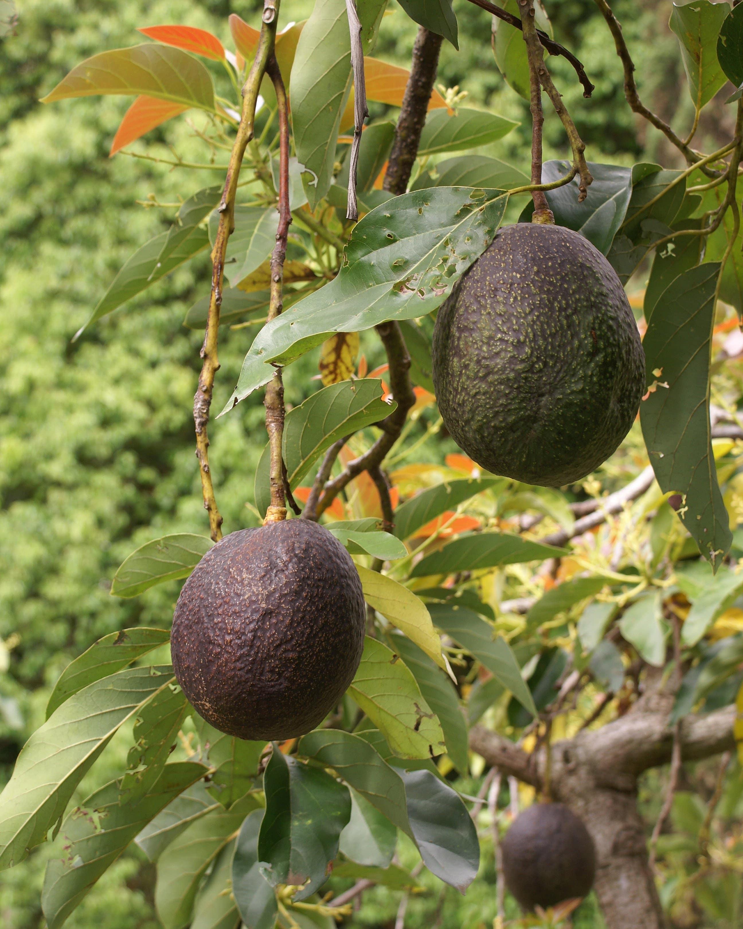 Avocat, avocado
