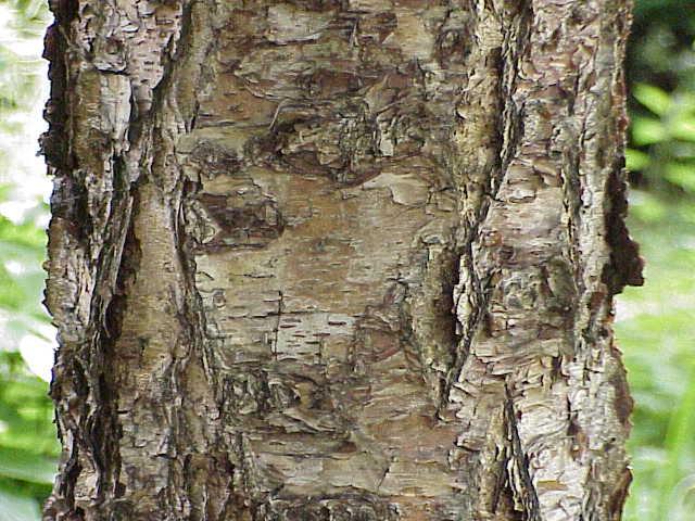 bouleau noir, black birch