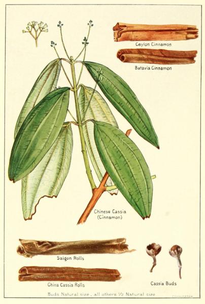 Cannelle cassia, | Huile essentielle 100% pure et naturelle | ZAYAT AROMA