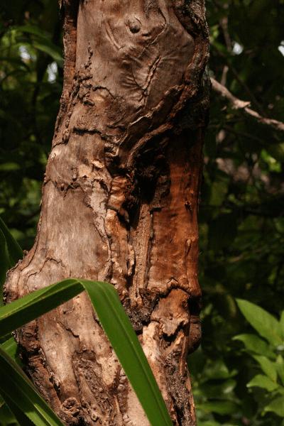Cannelle Sri-Lanka