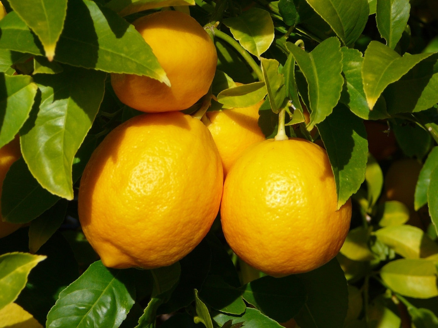 Citron jaune, yellow lemon