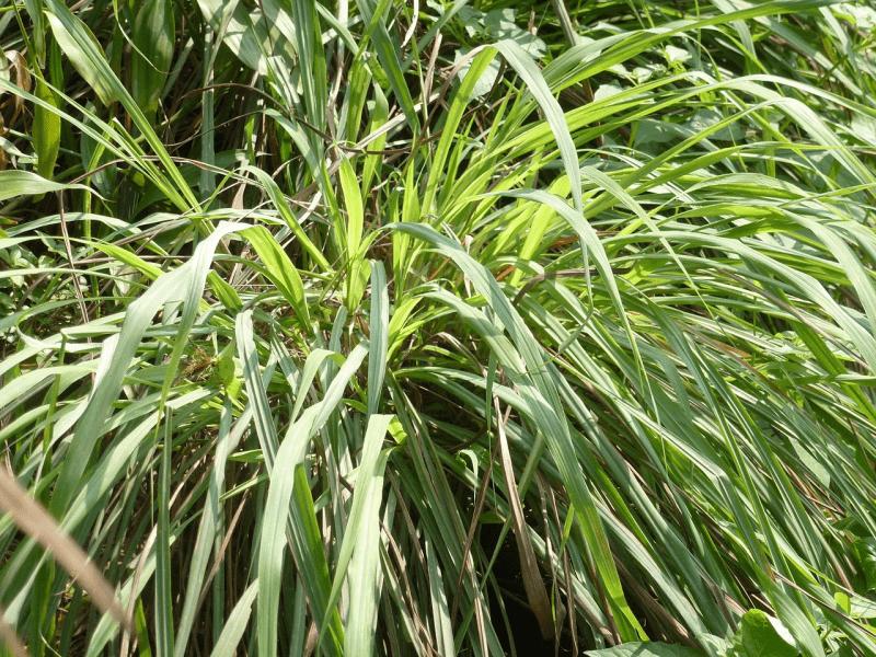 Citronnelle de Ceylan, citronella Ceylon