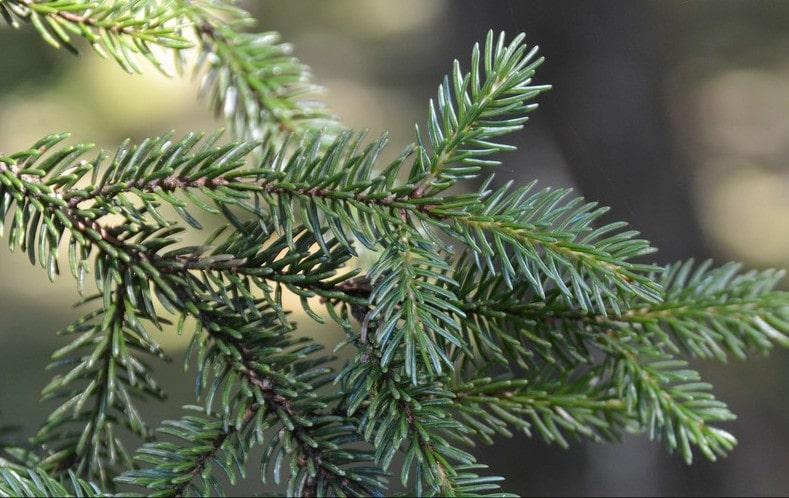 Épicea de Sachaline, Sakhalin spruce