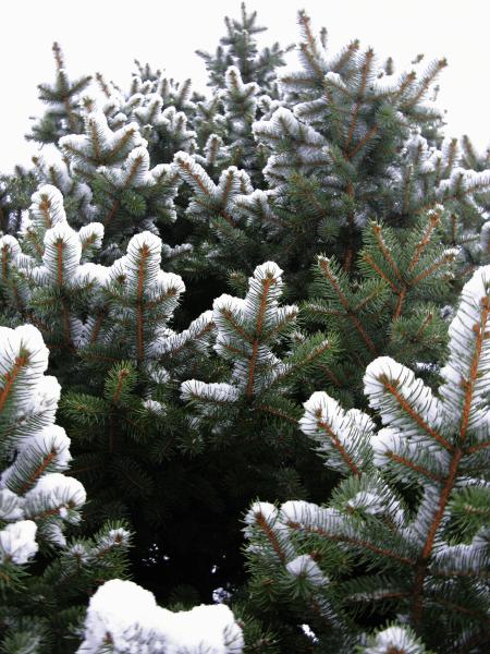 Épinette bleue, blue spruce