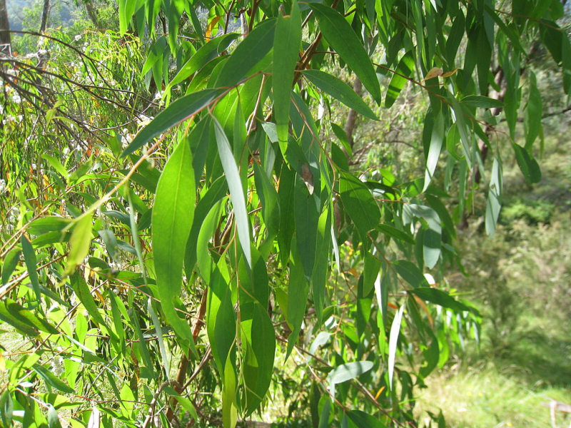 eucalyptus officinal