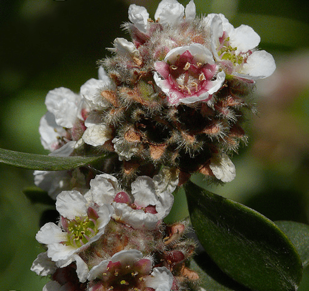 Fragonia