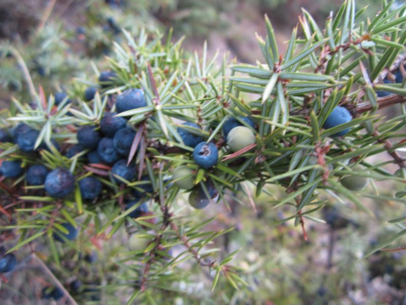 genévrier des montagnes, mountain juniper