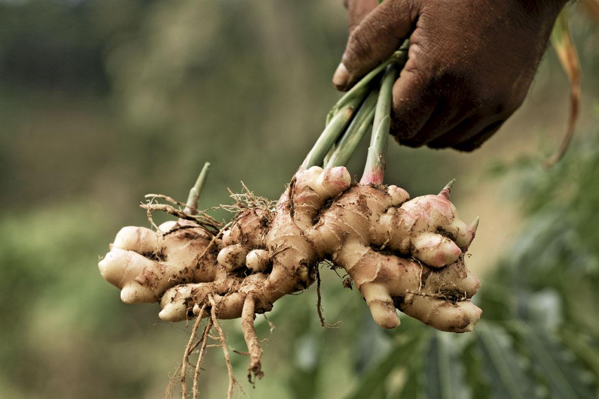 gingembre biologique, organic ginger