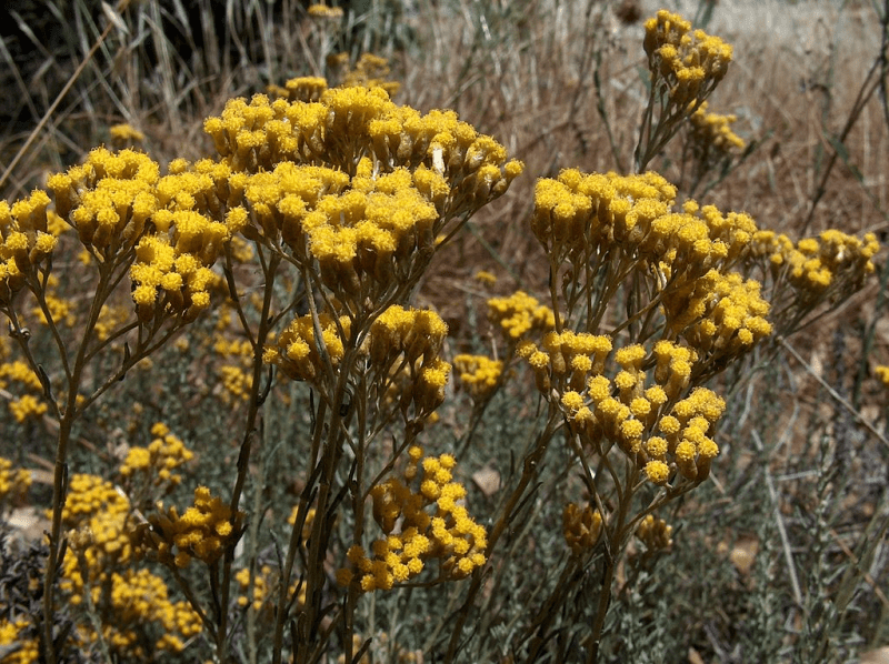 Hélichryse italienne biologique, organic italian helichryse