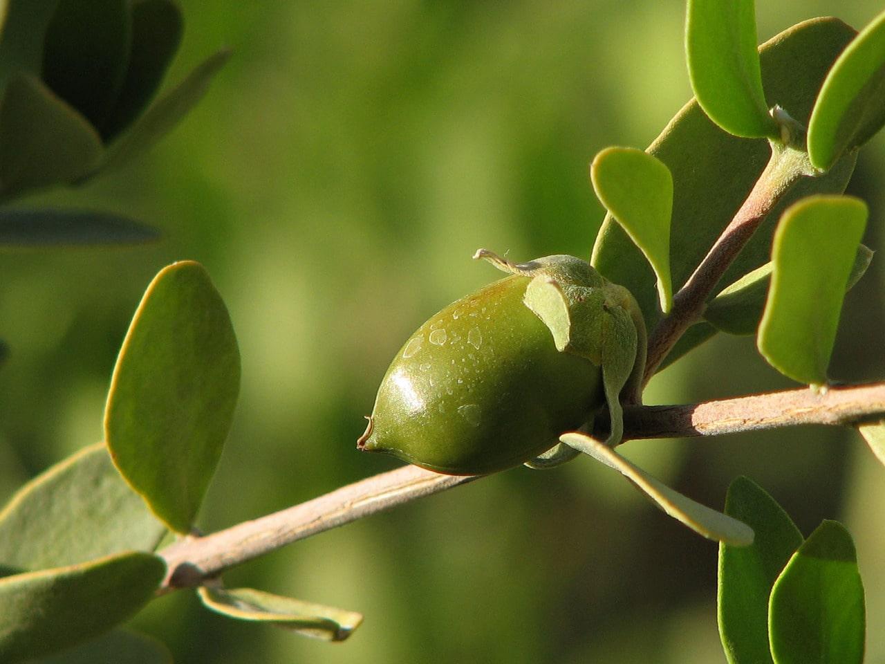 Jojoba clair biologique, organic clear jojoba