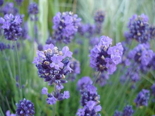 lavande aspic, spike lavender