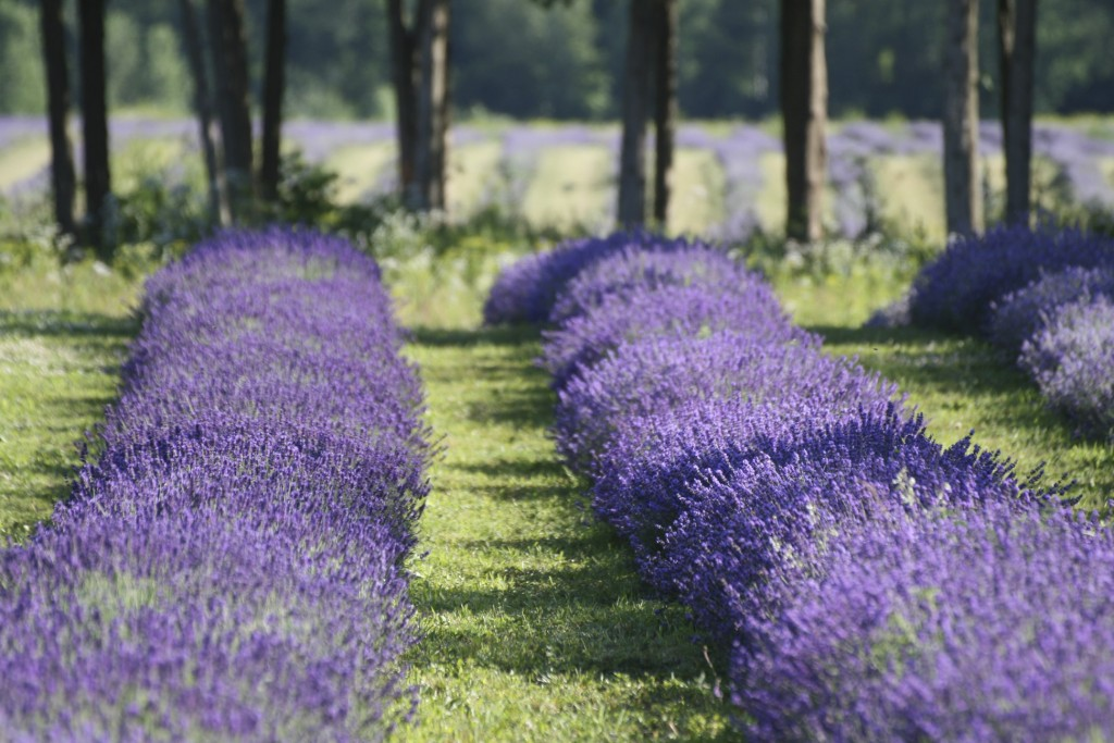 lavande vraie biologique, organic lavender vera