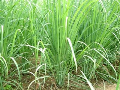 Lemongrass Inde