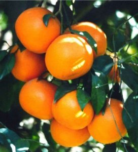 Mandarine rouge, red mandarin