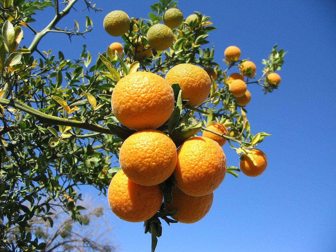 Mandarine rouge, red mandarin