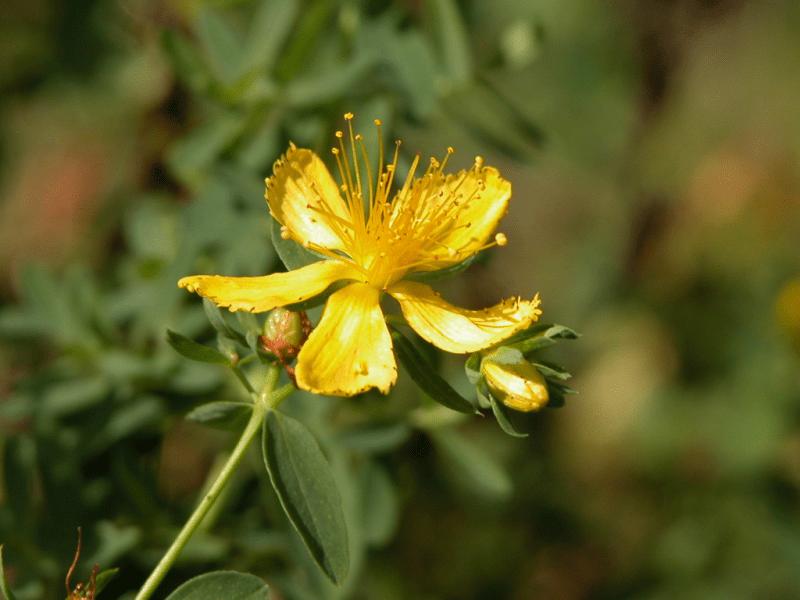 Millepertuis, St-John's wort