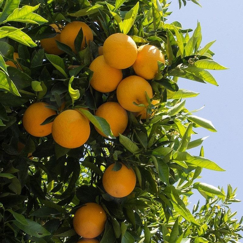 Orange amère, bitter orange