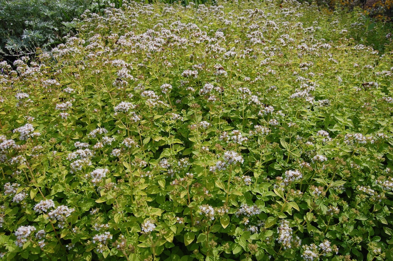 Origan vulgaire, common oregano