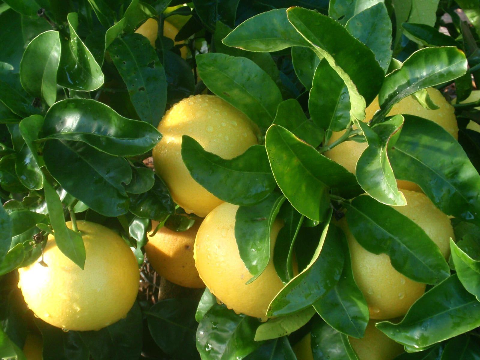 Pamplemousse blanc, white grapefruit