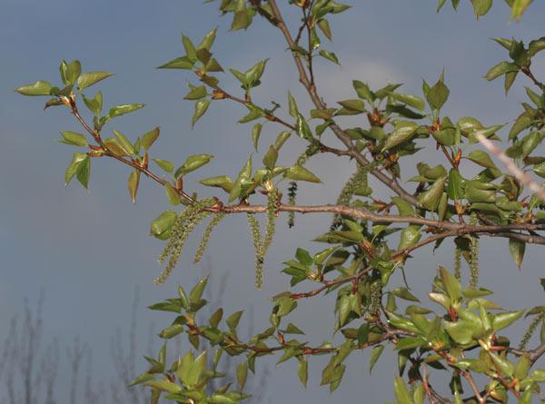 Peuplier Baumier, balsam poplar
