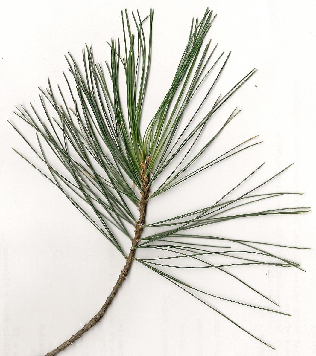Pin blanc, white pine