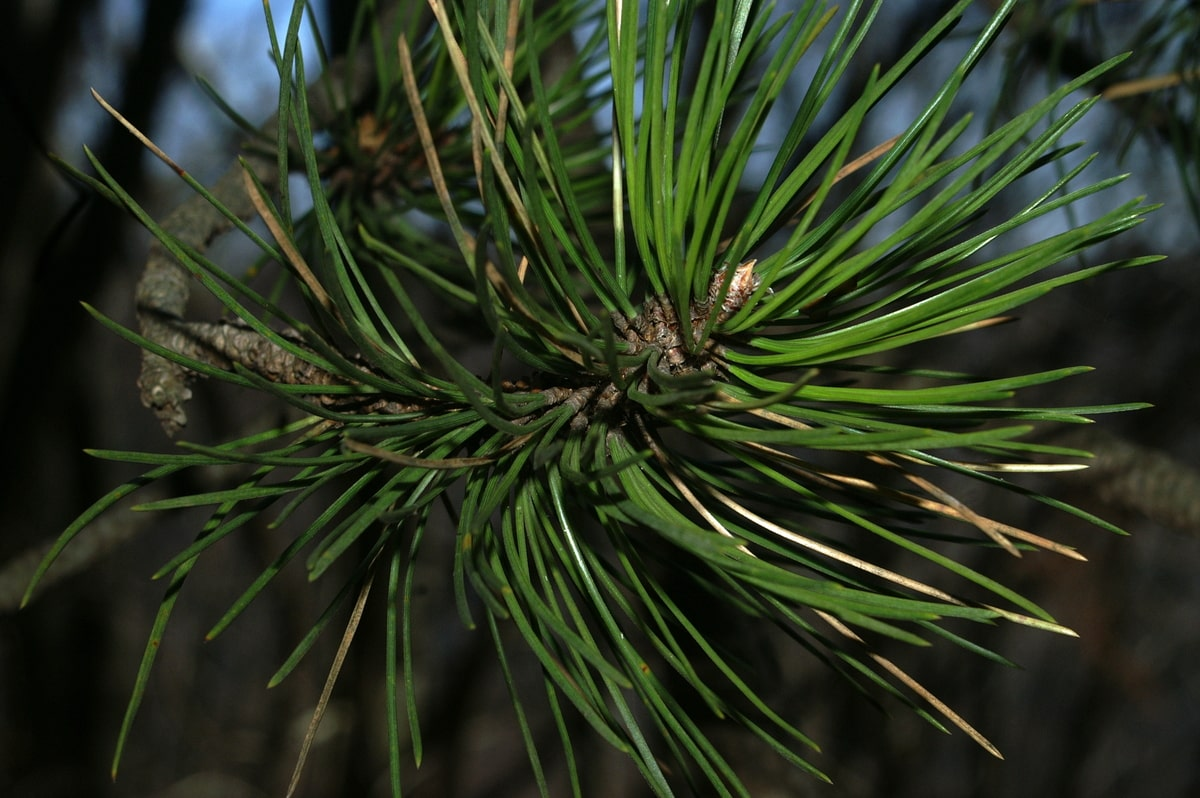 Pin noir, black pine