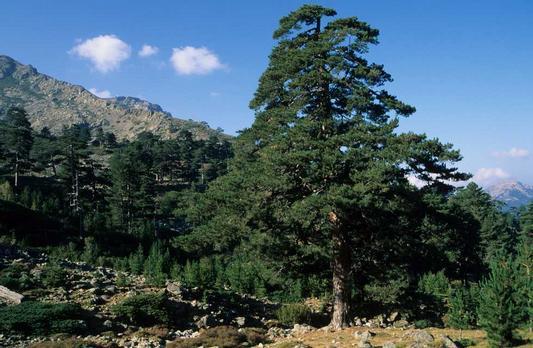 Pin noir, black pine