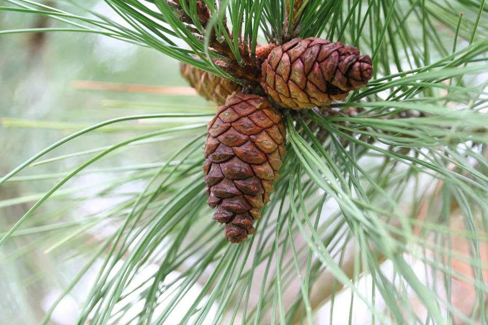 pin noir, red pine