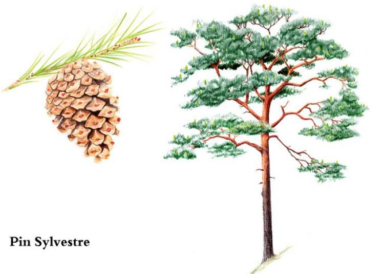 Pin sylvestre, scots pine