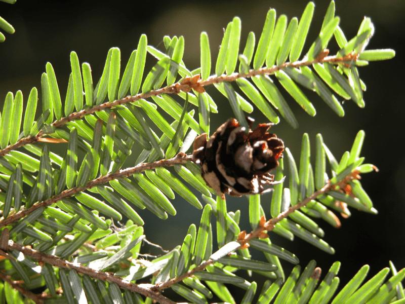 Pruche, hemlock spruce