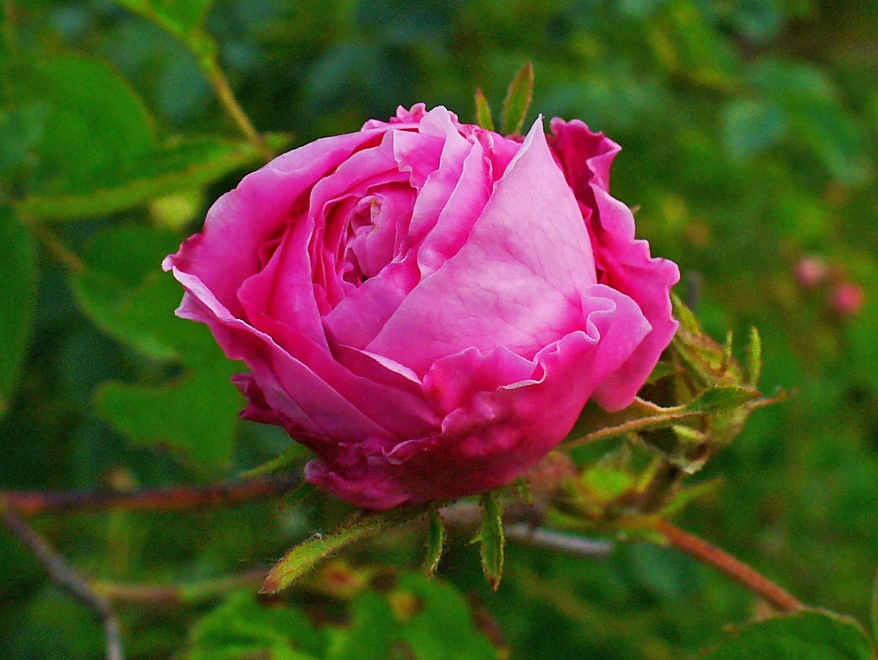 Rose, Rose centifolia