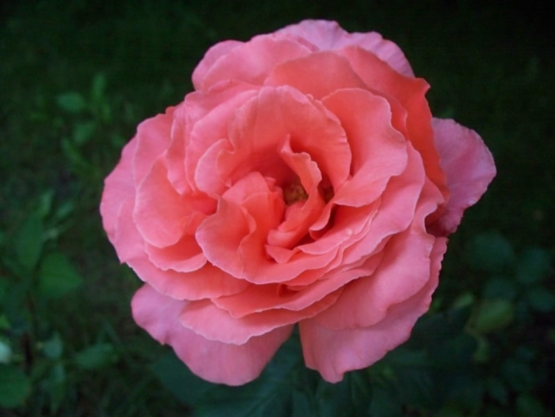 Rose de Damas, Damascus rose