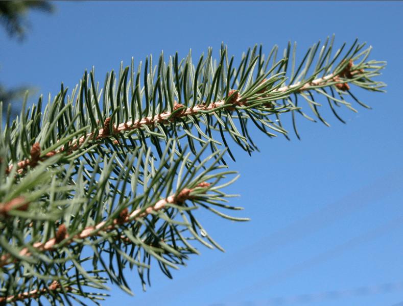 sapin baumier, Balsam fir