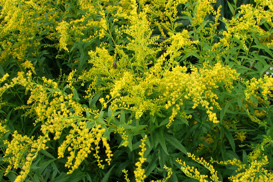 Verge d'or, goldenrod
