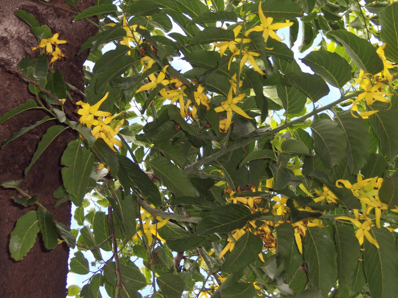 Ylang-ylang biologique, organic ylang-ylang