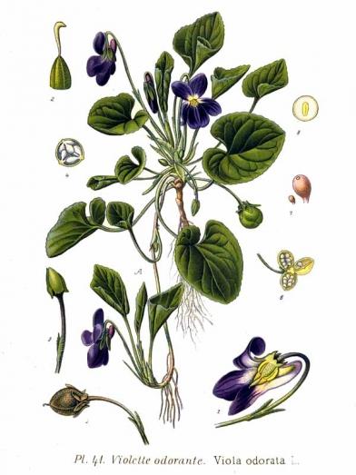 Violette violet