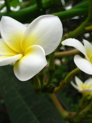 Frangipanier frangipani