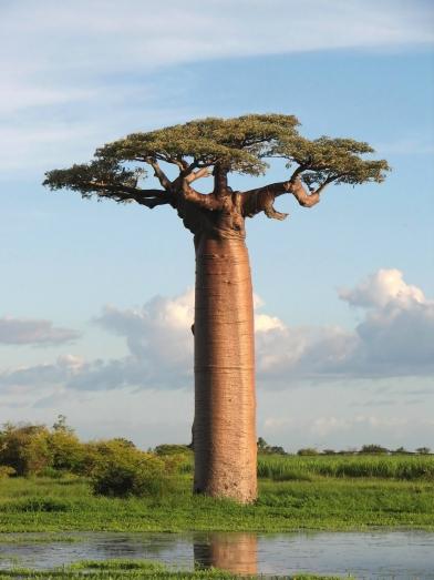 Baobab, adansonia