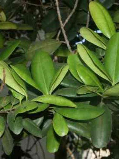 Bay feuilles