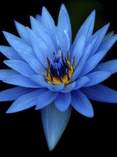 Lotus bleu blue lotus