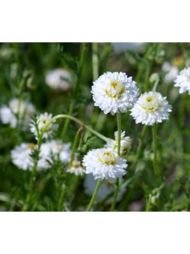 Camomille noble biologique, organic chamomile noble